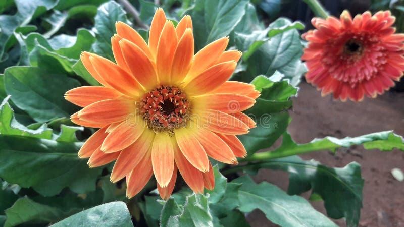 Oranje kleuren Afrikaanse Daisy bloem in tuin stock foto