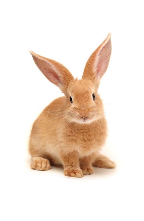 Oranje konijn stock foto's