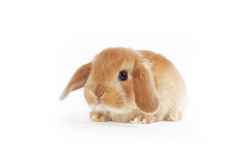 Oranje konijntje Super leuk snoeit dwergkonijn op geïsoleerde witte achtergrond royalty-vrije stock afbeelding