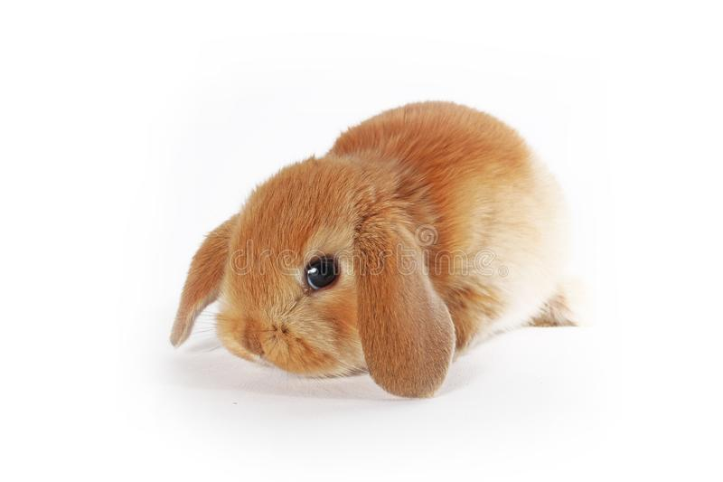 Oranje konijntje Super leuk snoeit dwergkonijn op geïsoleerde witte achtergrond royalty-vrije stock afbeeldingen