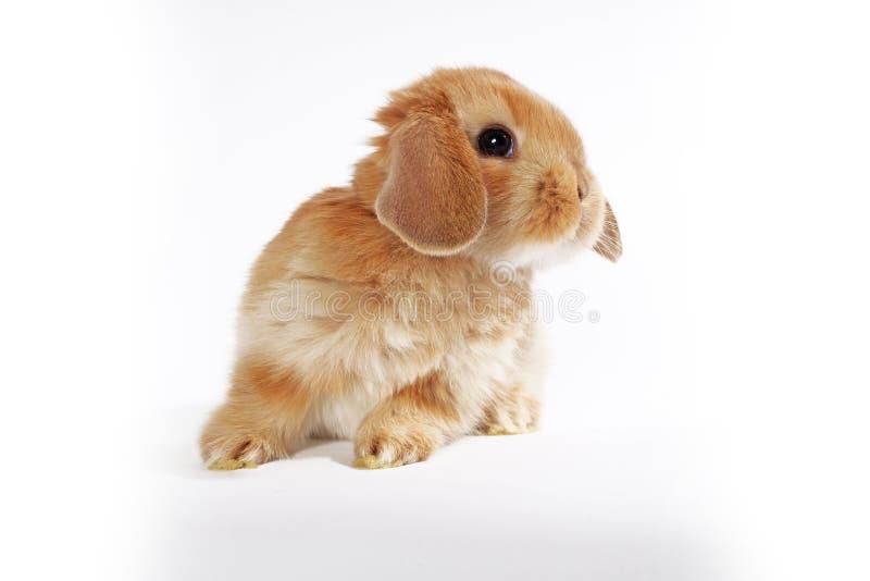 Oranje konijntje Super leuk snoeit dwergkonijn op geïsoleerde witte achtergrond stock fotografie