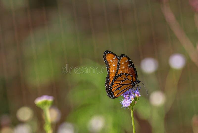 Oranje Koningin Butterfly op Purpere Nectar Flower in de Woestijn van Arizona royalty-vrije stock fotografie