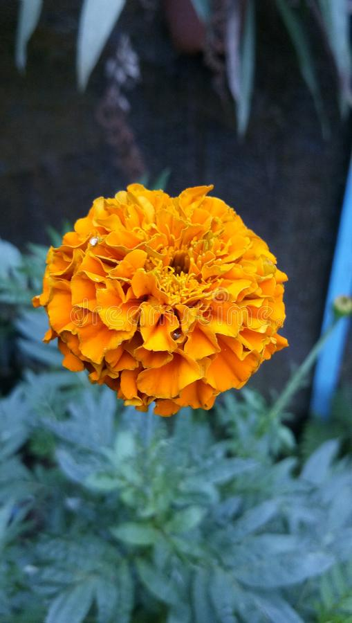 Oranje koorts royalty-vrije stock afbeeldingen