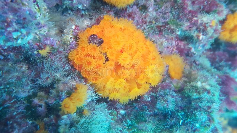 Oranje koralen in Plemmirio, Syracuse stock afbeelding