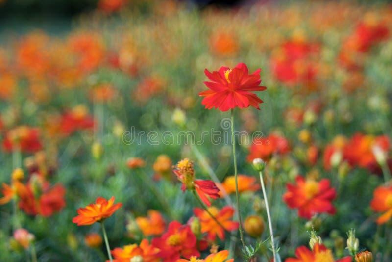 Oranje kosmos die, natuurlijke achtergrond bloeien stock foto's