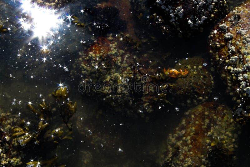 Oranje Krab die in een Getijdenpool zwemmen royalty-vrije stock foto's