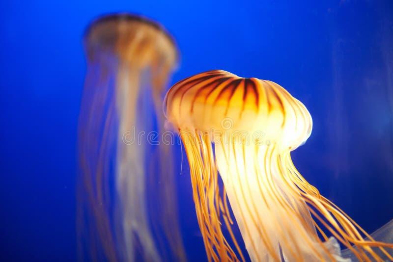 Oranje kwallen (Chrysaora fuscescens) stock afbeelding