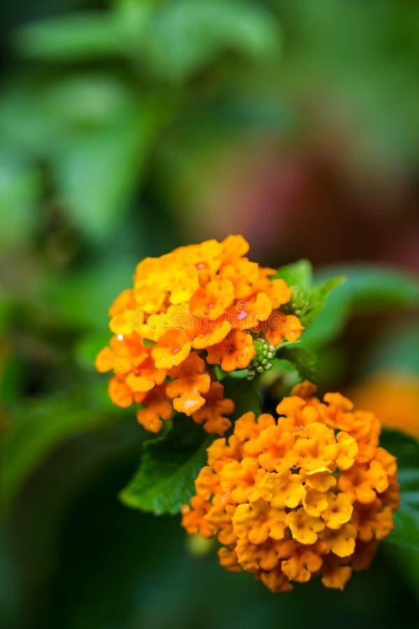Oranje lantanabloem op aardachtergrond stock afbeeldingen