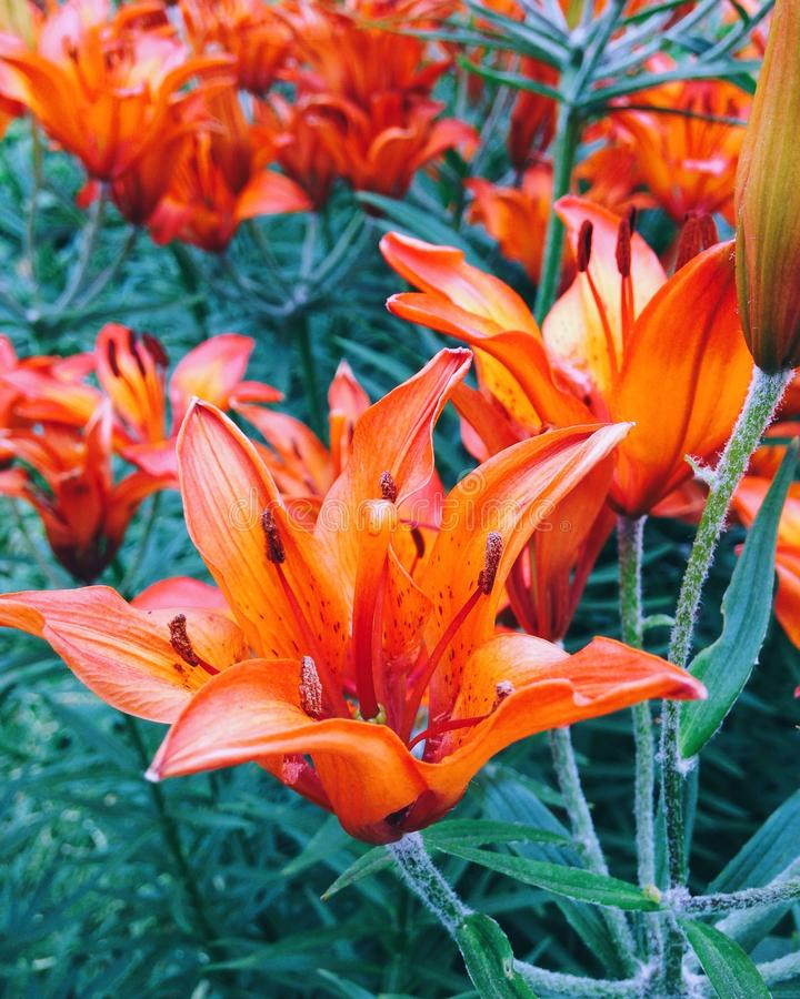 Oranje lelie stock afbeeldingen