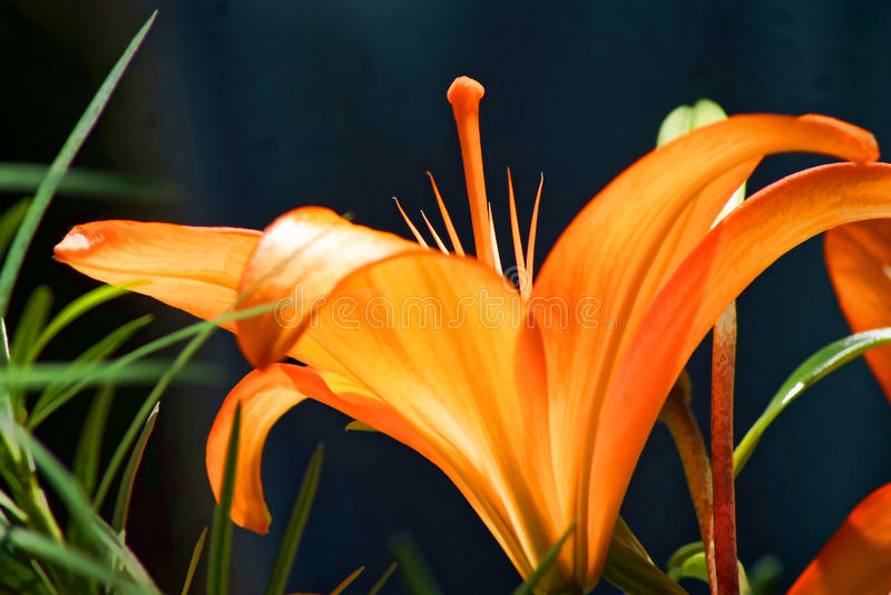 Oranje lelie stock foto's