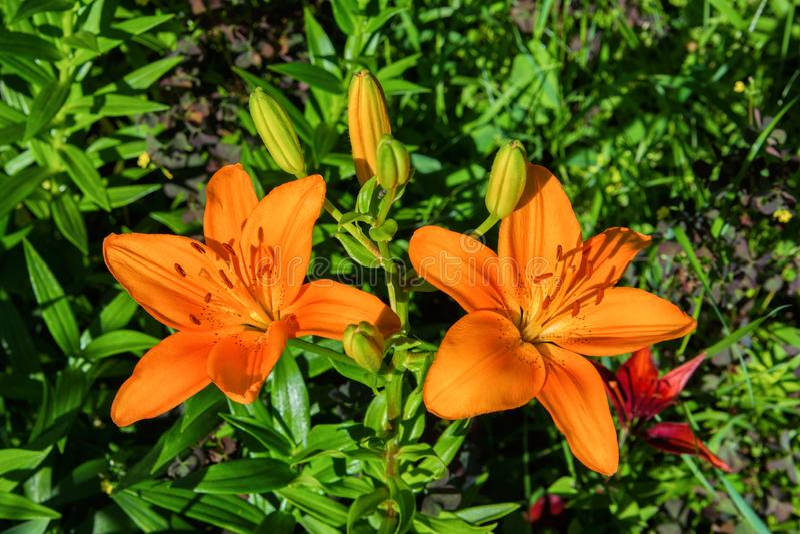 Oranje lelie Tot bloei komende lelies in de tuin royalty-vrije stock afbeelding