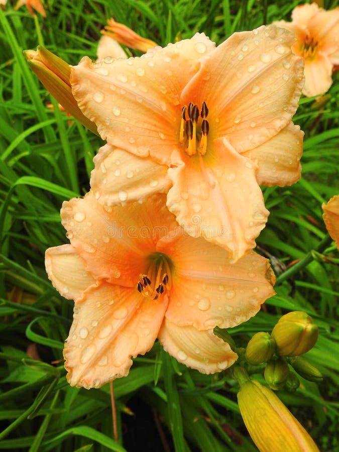 Oranje leliebloemen royalty-vrije stock foto's
