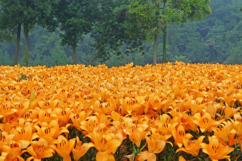 Oranje leliebloemen met bomen royalty-vrije stock afbeeldingen