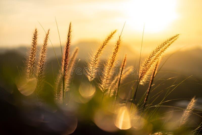 Oranje licht van de zon die door de vezels van de grasbloemen schijnt De voorgrond heeft groene bladeren stock afbeeldingen