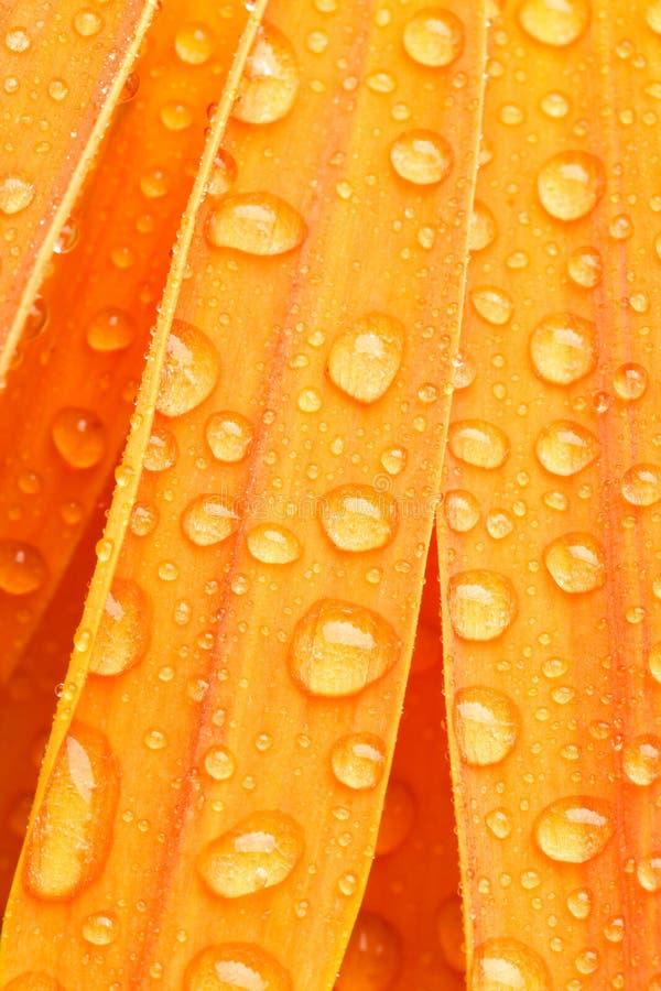 Oranje madeliefje petails stock foto's