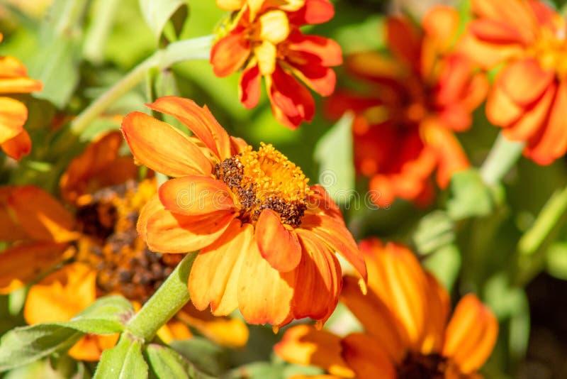 Oranje madeliefjebloemen in helder zonlicht royalty-vrije stock afbeelding