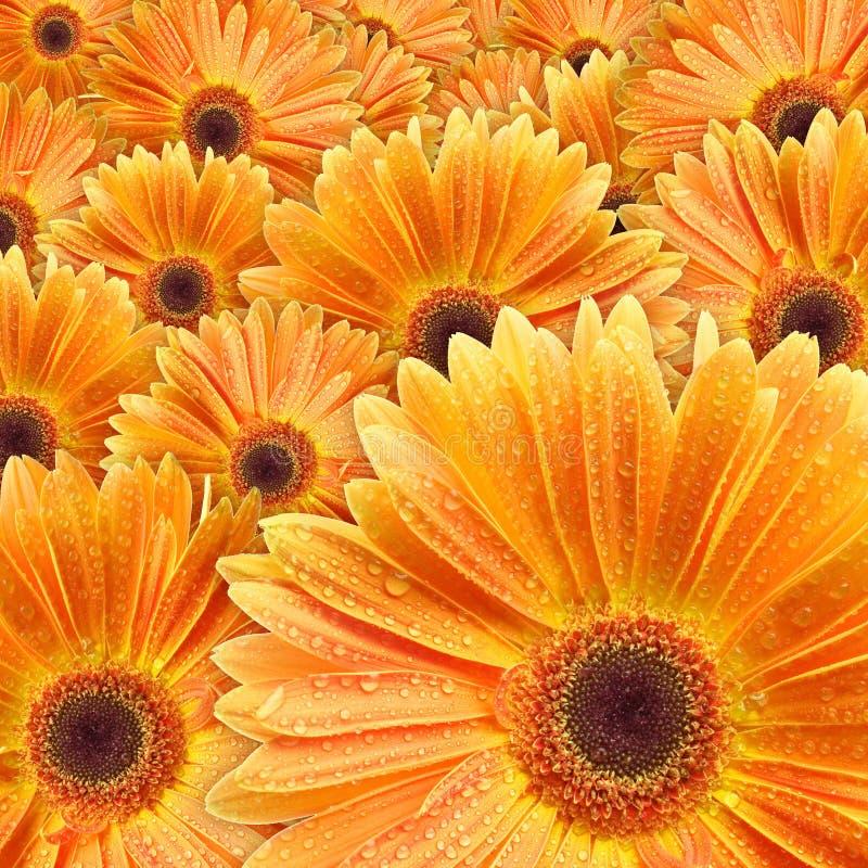 Oranje madeliefjes met waterdaling royalty-vrije stock afbeelding