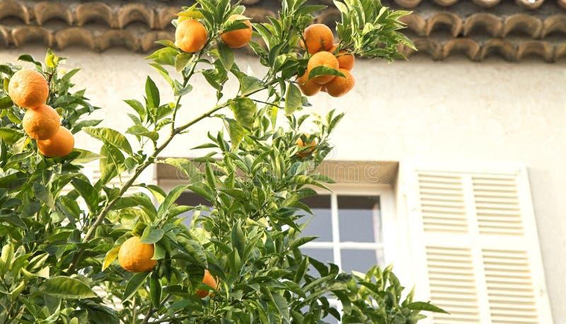 Oranje mandarin boom royalty-vrije stock foto's