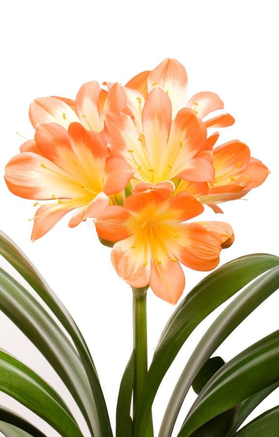 Oranje miniata Clivia stock foto