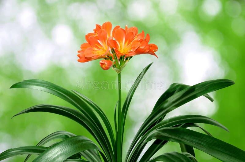 Oranje miniata Clivia royalty-vrije stock afbeelding