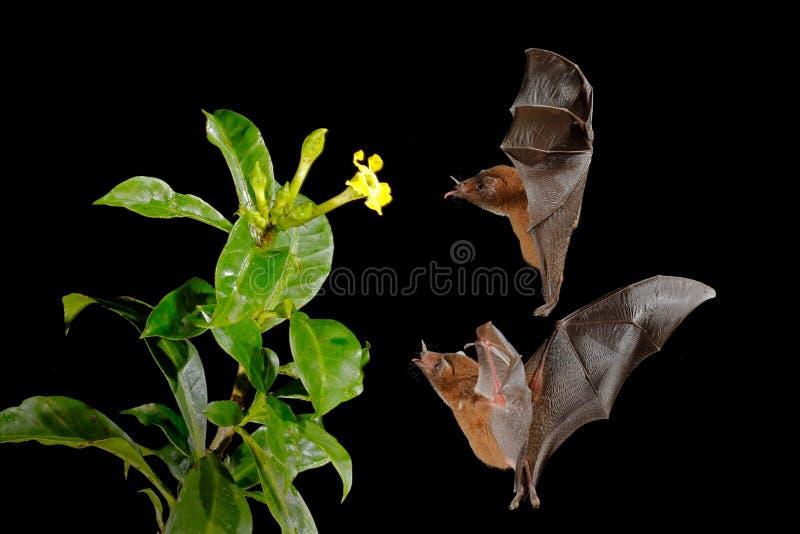 Oranje nectarknuppel, robusta, vliegende knuppel van Lonchophylla in donkere nacht Nachtelijk dier tijdens de vlucht met gele voe royalty-vrije stock afbeeldingen