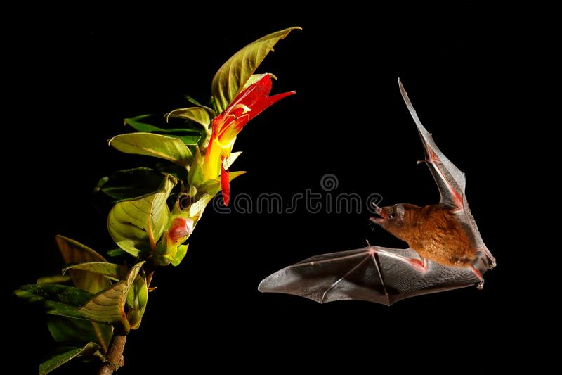 Oranje nectarknuppel, robusta, vliegende knuppel van Lonchophylla in donkere nacht Nachtelijk dier tijdens de vlucht met gele voe stock foto