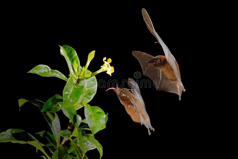 Oranje nectarknuppel, robusta, vliegende knuppel van Lonchophylla in donkere nacht Nachtelijk dier tijdens de vlucht met gele voe stock foto's