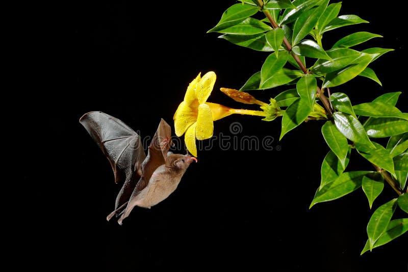 Oranje nectarknuppel, robusta, vliegende knuppel van Lonchophylla in donkere nacht Nachtelijk dier in vlieg met gele voerbloem He stock fotografie