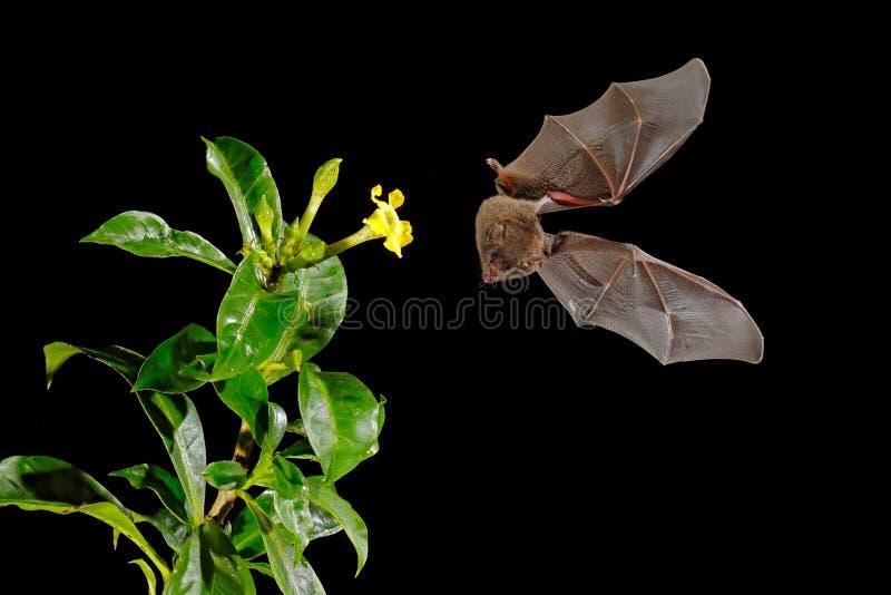 Oranje nectarknuppel, robusta, vliegende knuppel van Lonchophylla in donkere nacht Nachtelijk dier in vlieg met gele voerbloem He royalty-vrije stock fotografie
