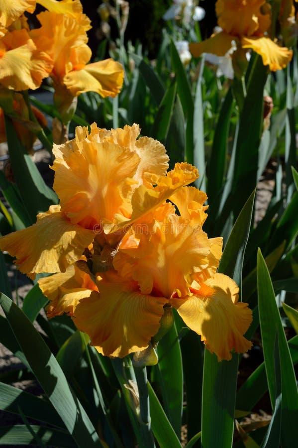 Oranje Oogst Gebaarde Iris royalty-vrije stock afbeeldingen