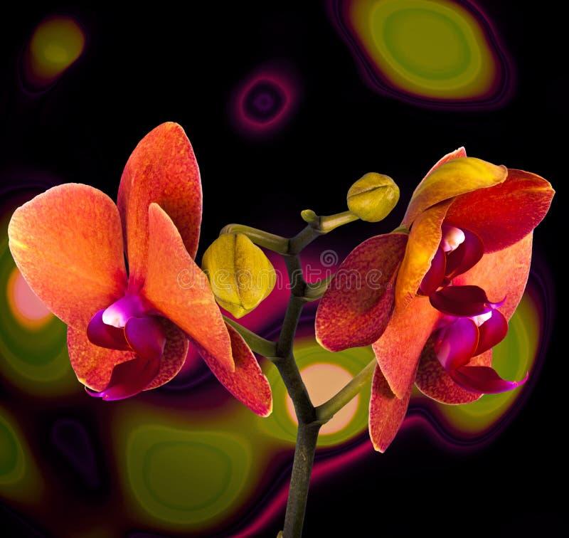 Oranje orchidee royalty-vrije stock afbeeldingen
