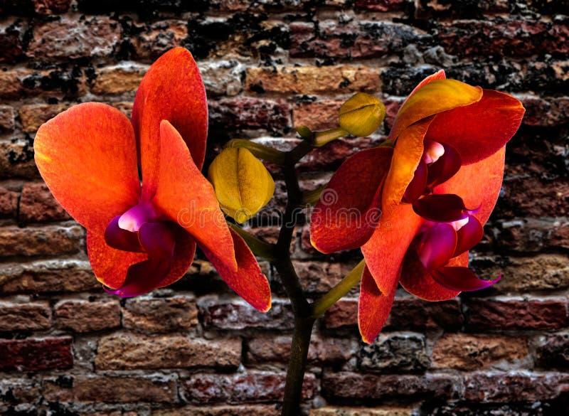 Oranje orchidee stock afbeelding