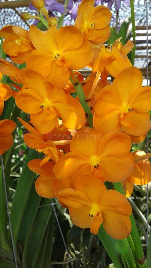 Oranje Orchidee royalty-vrije stock afbeelding