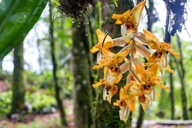 Oranje Orchidee in Colombia stock foto