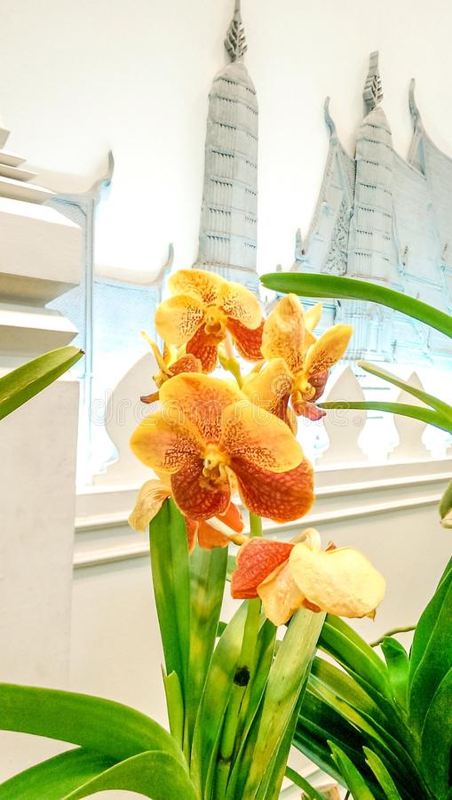 Download Oranje Orchidee Op Thais Behang Stock Afbeelding - Afbeelding bestaande uit orchidee, achtergrond: 54080219