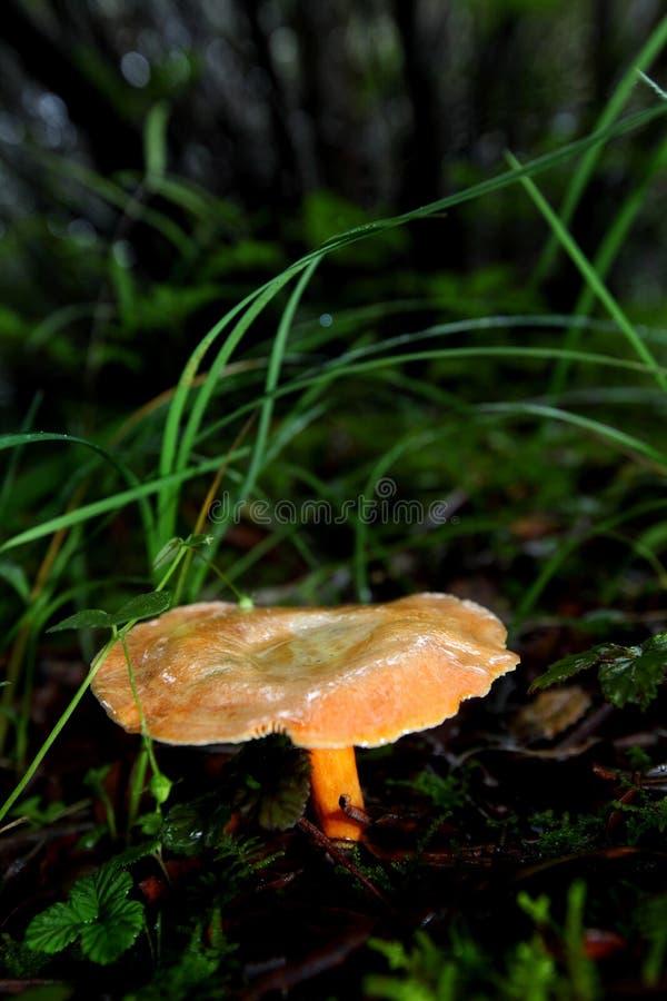 Oranje paddestoel stock afbeeldingen