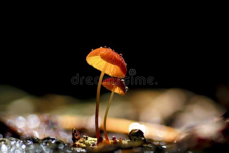 Oranje paddestoelen, Marasmius-siccus stock afbeelding