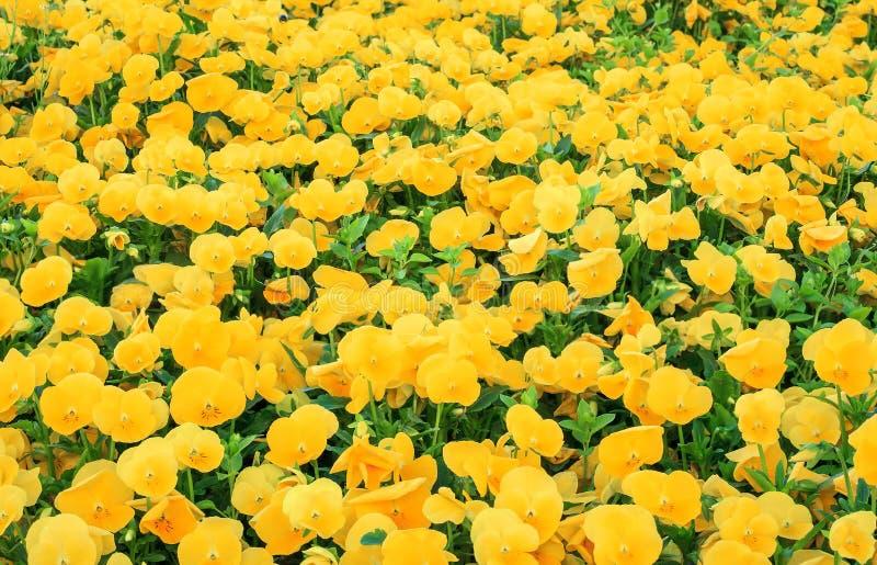 Oranje Pansies in de lentetuin Kleurrijke bloemen selectieve nadruk als achtergrond stock afbeeldingen
