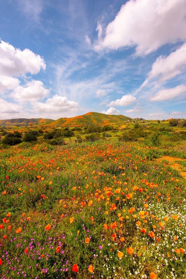Oranje Papavers bij superbloom stock afbeeldingen