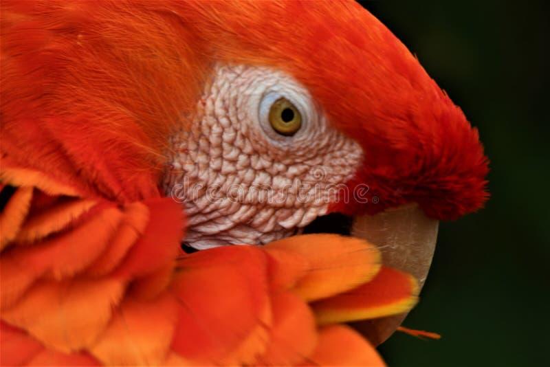 Oranje papegaaihoofd royalty-vrije stock foto's