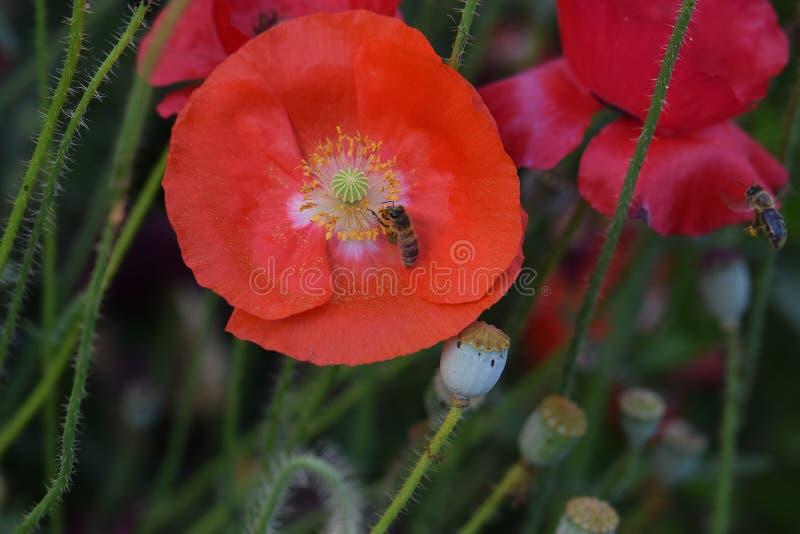 Oranje Poppy Bee stock afbeeldingen