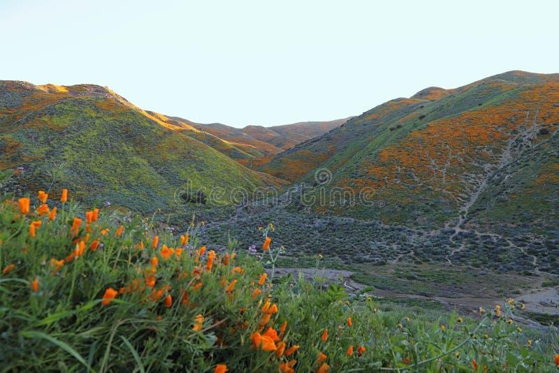 Oranje Poppy Flowers Super Bloom in de Zuidelijke Heuvels van Californië stock afbeelding