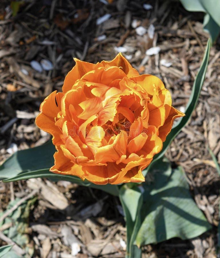 Oranje Prinses Tulip stock foto