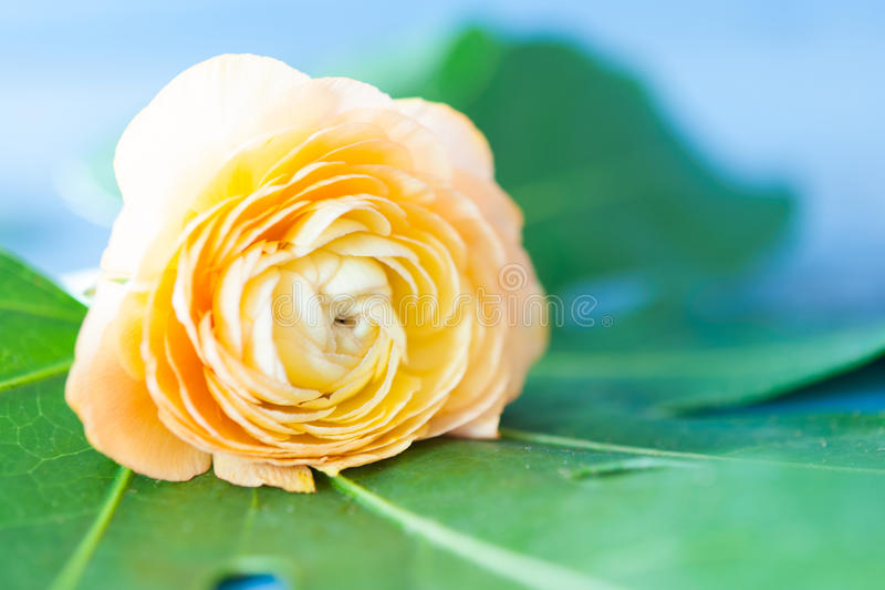 Oranje ranunculus stock fotografie