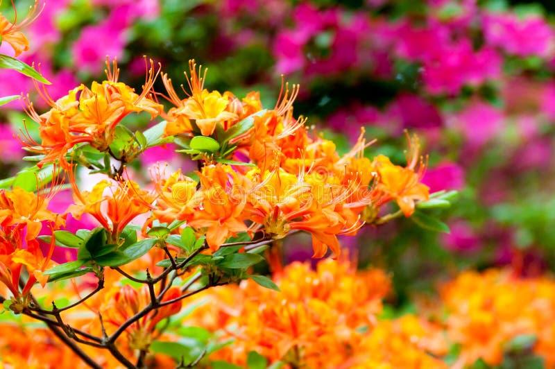 Oranje Rododendron stock foto