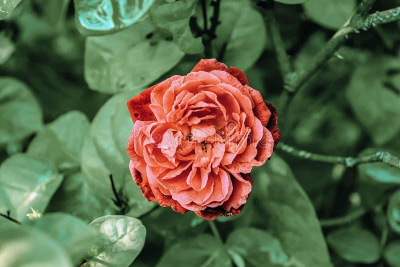 Oranje roos twee soorten rozen oversteken, mooie en mooie rozen maken stock foto