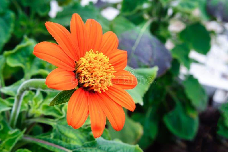 Oranje rotundifolia van bloemtithonia in de tuin stock afbeeldingen