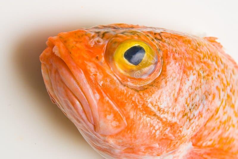 Oranje roughy hoofd royalty-vrije stock foto's