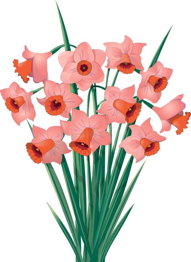Oranje-roze gele narcissen Op witte achtergrond royalty-vrije illustratie