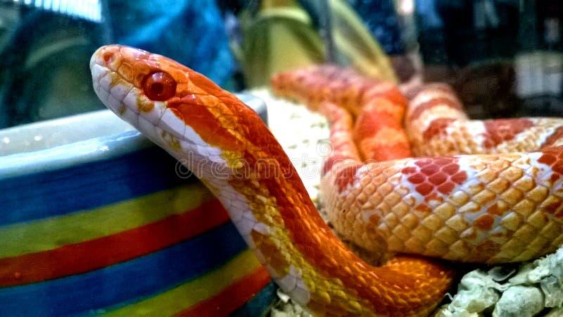 Oranje slang royalty-vrije stock afbeelding